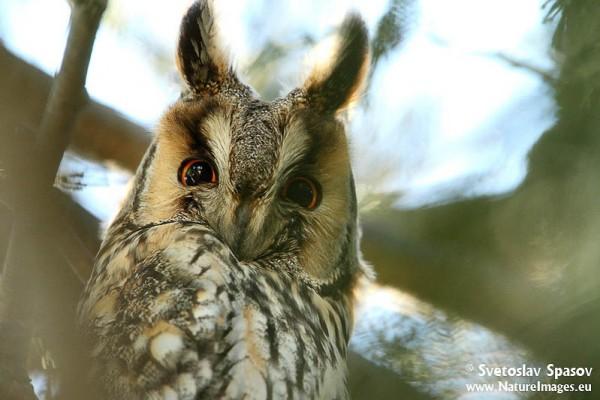 Long Eared Owl Asio Otus Short Eared Owl Asio Otus Birdid S Bird Guide Nord University Birdid